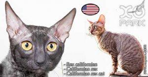 Californian rex - Californian rex cat