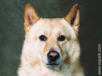 Canaan Dog - Chien de Canaan - Chien primitif - Chien parias -Chien spitz, Chien guide d'aveugle, Chien de garde