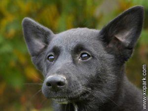 Canaan Dog - Chien de Canaan - Chien primitif - Chien parias -Chien spitz