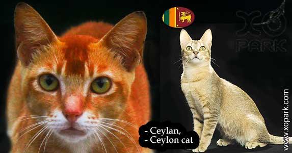 Ceylan, Ceylon cat,
