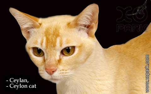 Ceylan,-Ceylon-cat—xopark01-