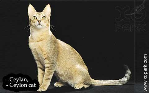 Ceylan,-Ceylon-cat—xopark02-
