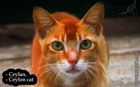 Ceylan,-Ceylon-cat—xopark03-