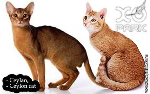 Ceylan,-Ceylon-cat—xopark04-