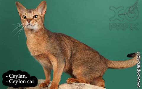 Ceylan,-Ceylon-cat—xopark05-