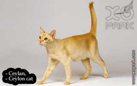 Ceylan,-Ceylon-cat—xopark06-