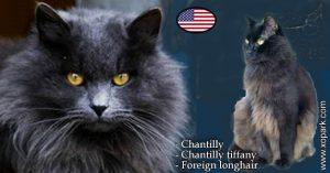 Chantilly - Chantilly-tiffany ou Chantilly tiffany - Foreign longhair