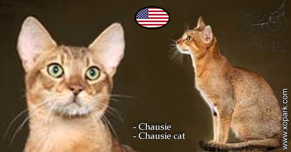 Chausie - Chausie cat - Félidés (Félins, Felidae)