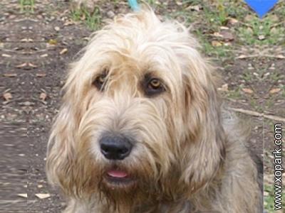 Chien à loutre, Otterhound, British dog breed