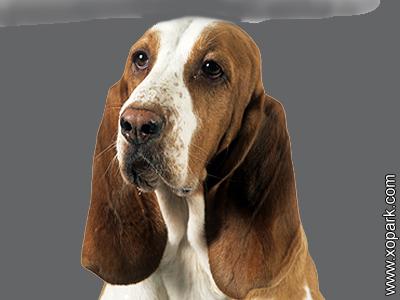 Chien courant espagnol - Sabueso Español - Spanish Scenthound