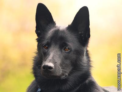 Chien d'élan norvégien noir, Black Norwegian Elkhound, Norsk Elghund Sort, Norsk Elghund Black, Black Elkhound, Norwegian Moose Dog