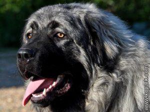 Chien de berger yougoslave de Charplanina, berger yougoslave, charplanina, charplaninatz ou sarplaninac, Šarplaninac, Yugoslavian Shepherd Dog