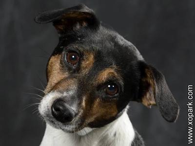 Chien de ferme dano-suedois, Dansk-svensk gårdshund, Danish Swedish Farmdog, Scanian terrier