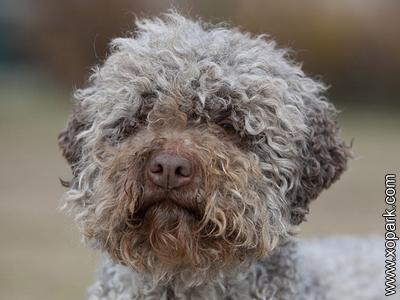 Chien d'eau romagnol, Lagotto Romagnolo, Romagna Water Dog, Water Dog of Romagna, Lagotto