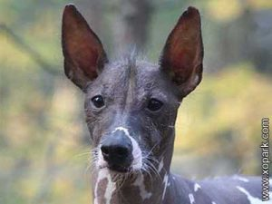 Chien nu du Pérou, Peruvian Hairless Dog, Inca Hairless Dog, Viringo, Peruvian Inca Orchid, Calato