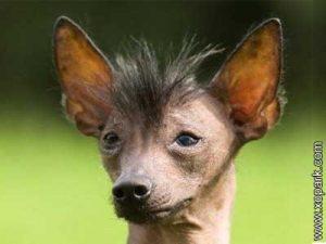 Chien nu mexicain - Xoloitzcuintle - Mexican Hairless Dog - Xoloitzcuintli