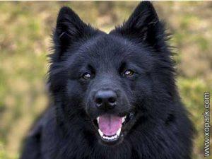 Chien suédois de Laponie, Lapphund suédois, Swedish Lapphund, Svensk Lapphund,