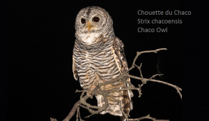 Chouette du Chaco - Strix chacoensis - Chaco Owl