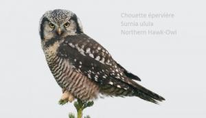 Chouette épervière - Surnia ulula - Northern Hawk-Owl