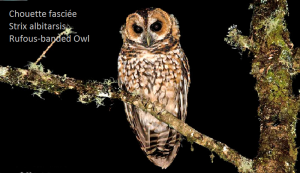 Chouette fasciée - Strix albitarsis - Rufous-banded Owl