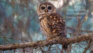 Chouette fauve - Strix fulvescens - Fulvous Owl