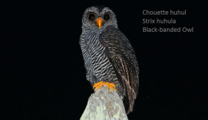 Chouette huhul - Strix huhula - Black-banded Owl