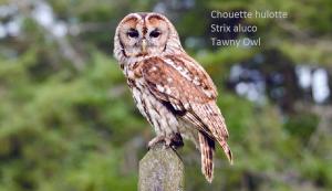 Chouette hulotte - Strix aluco - Tawny Owl