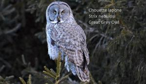 Chouette lapone - Strix nebulosi - Great Grey Owl