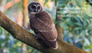 Chouette leptogramme - Strix leptogrammica - Brown Wood Owl