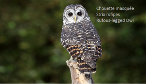 Chouette masquée - Strix rufipes - Rufous-legged Owl