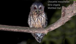 Chouette mouchetée - Strix virgata - Mottled Owl