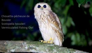 Chouette-pêcheuse de Bouvier - Scotopelia bouvieri - Vermiculated Fishing Owl
