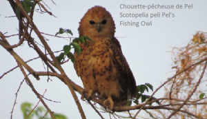 Chouette-pêcheuse de Pel - Scotopelia peli Pel's - Fishing Owl