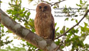 Chouette-pêcheuse rousse - Scotopelia ussheri - Rufous Fishing Owl