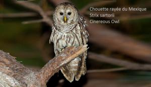 Chouette rayée du Mexique - Strix sartorii - Cinereous Owl