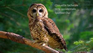 Chouette tachetée - Strix occidentalis - Spotted Owl