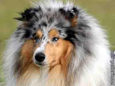 Colley à poil long, Berger écossais ou Colley - Scotch Collie - colley à poil long