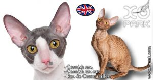 Cornish rex,Cornish rex cat,Rex de Cornouailles