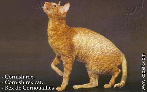 Cornish rex,Cornish rex cat,Rex de Cornouailles – xopark-02