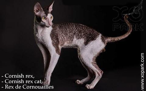 Cornish rex,Cornish rex cat,Rex de Cornouailles – xopark-03