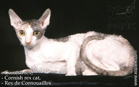 Cornish rex,Cornish rex cat,Rex de Cornouailles – xopark-05