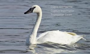 Cygne trompette Cygnus buccinator Trumpeter Swan