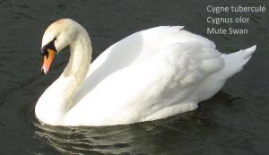Cygne tuberculé Cygnus olor Mute Swan