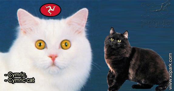 Cymric - Cymric cat - Félidés (Félins, Felidae) - Cymric (Katze)