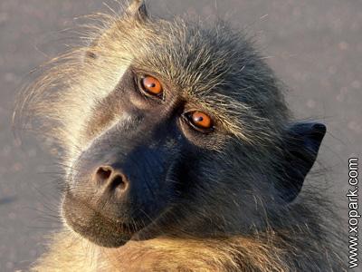Cynocéphale - Chacma baboon - Papio ursinus - Babouin chacma - xopark0