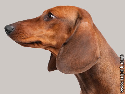 Dachshund - Teckel - Dackel - Weenie Dog - Sausage Dog - Bassotto