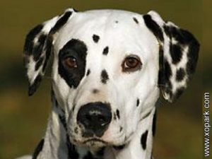 Dalmatien - Dalmatian - Carriage Dog, Spotted Coach Dog - Firehouse Dog