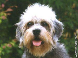 Dandie Dinmont Terrier- Dandie - Hindlee Terrier