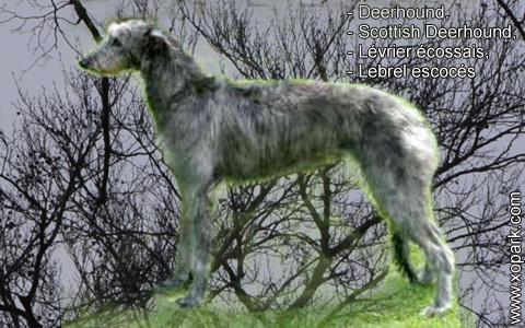 Deerhound – Scottish Deerhound – Lévrier écossais – Lebrel escocés – xopark1