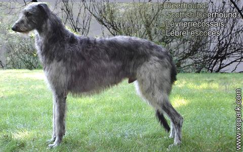 Deerhound – Scottish Deerhound – Lévrier écossais – Lebrel escocés – xopark2